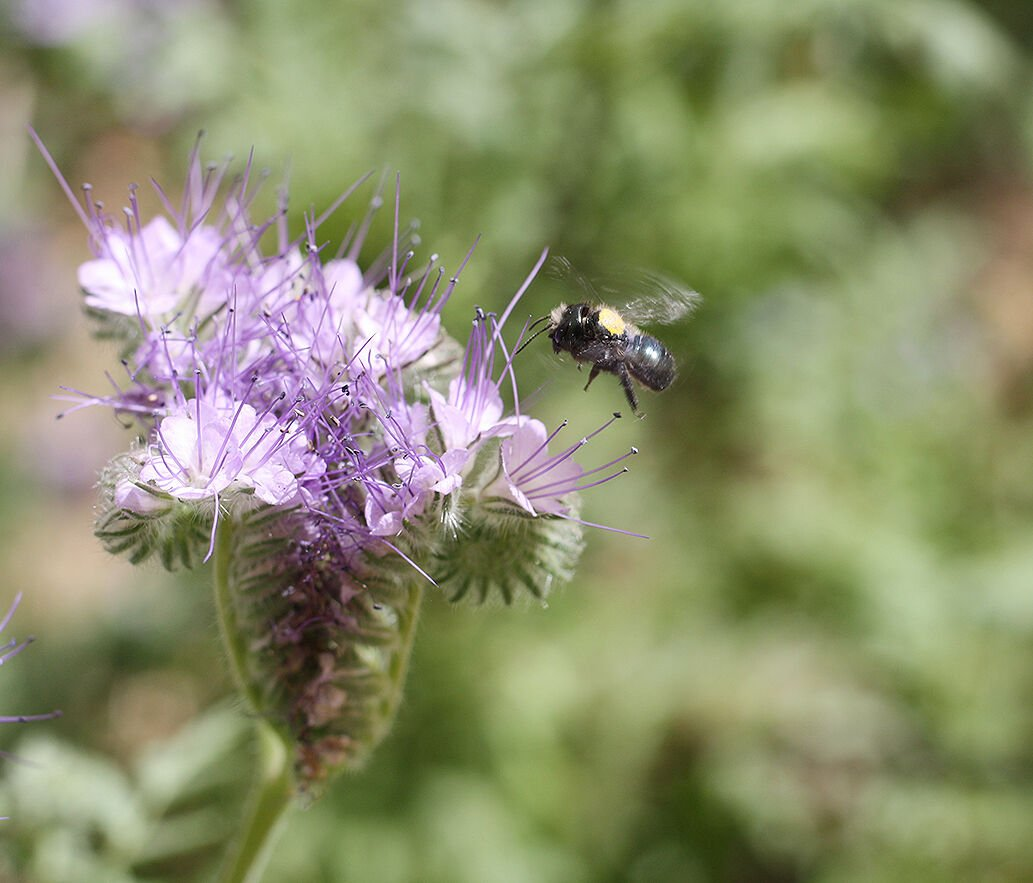 Mason bee with flower