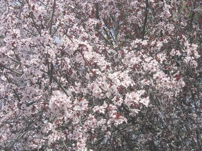 Rains interrupt fruit, nut bloom