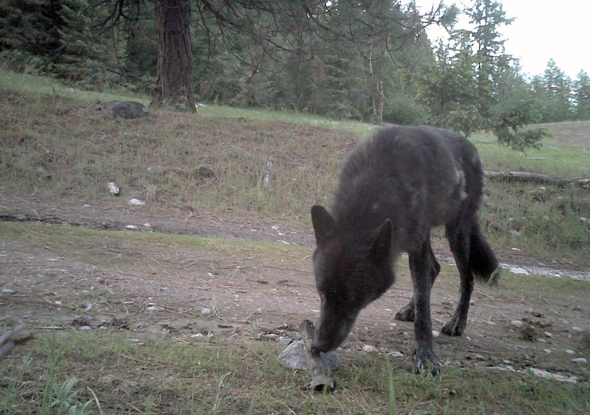 Northeastern Washington wolf