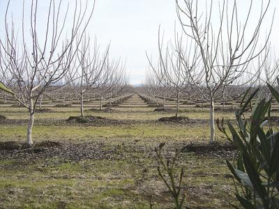 California growers assessing damage from freeze