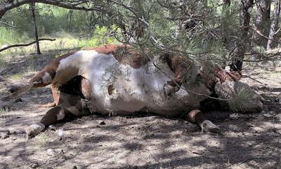 Silvies bulls