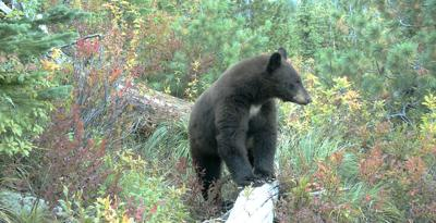 Unbearable damage: Foresters look to protect trees from black bears