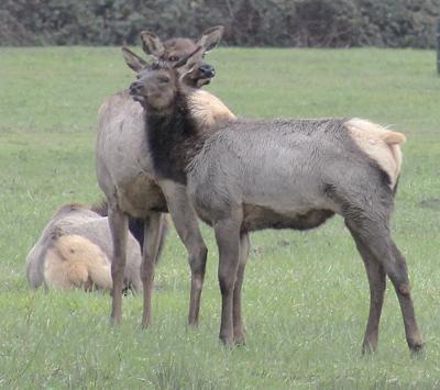 WDFW offers blueprint for managing Blue Mountains elk