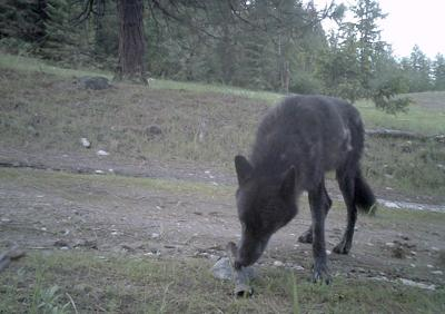 WDFW shoots Togo wolfpack male
