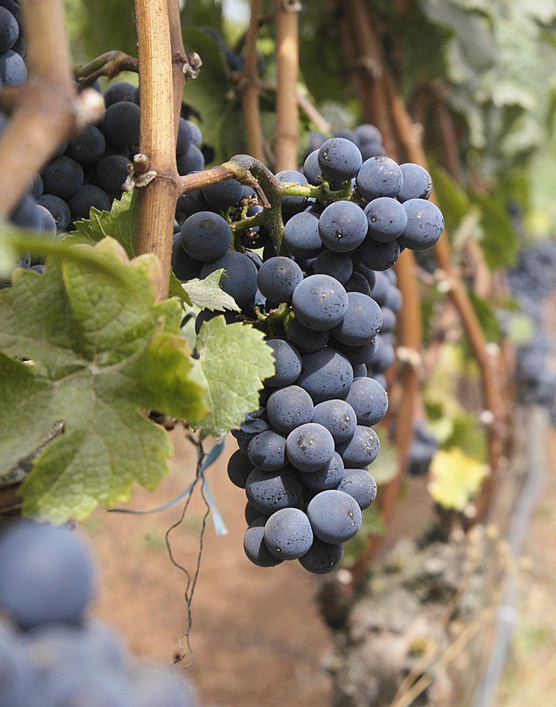 Oregon growers face 'epic' grape harvest