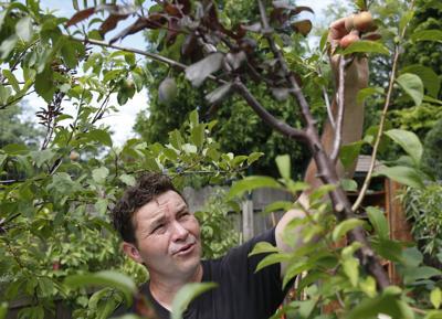 Tree pluribus unum: Many fruits stem from grafts