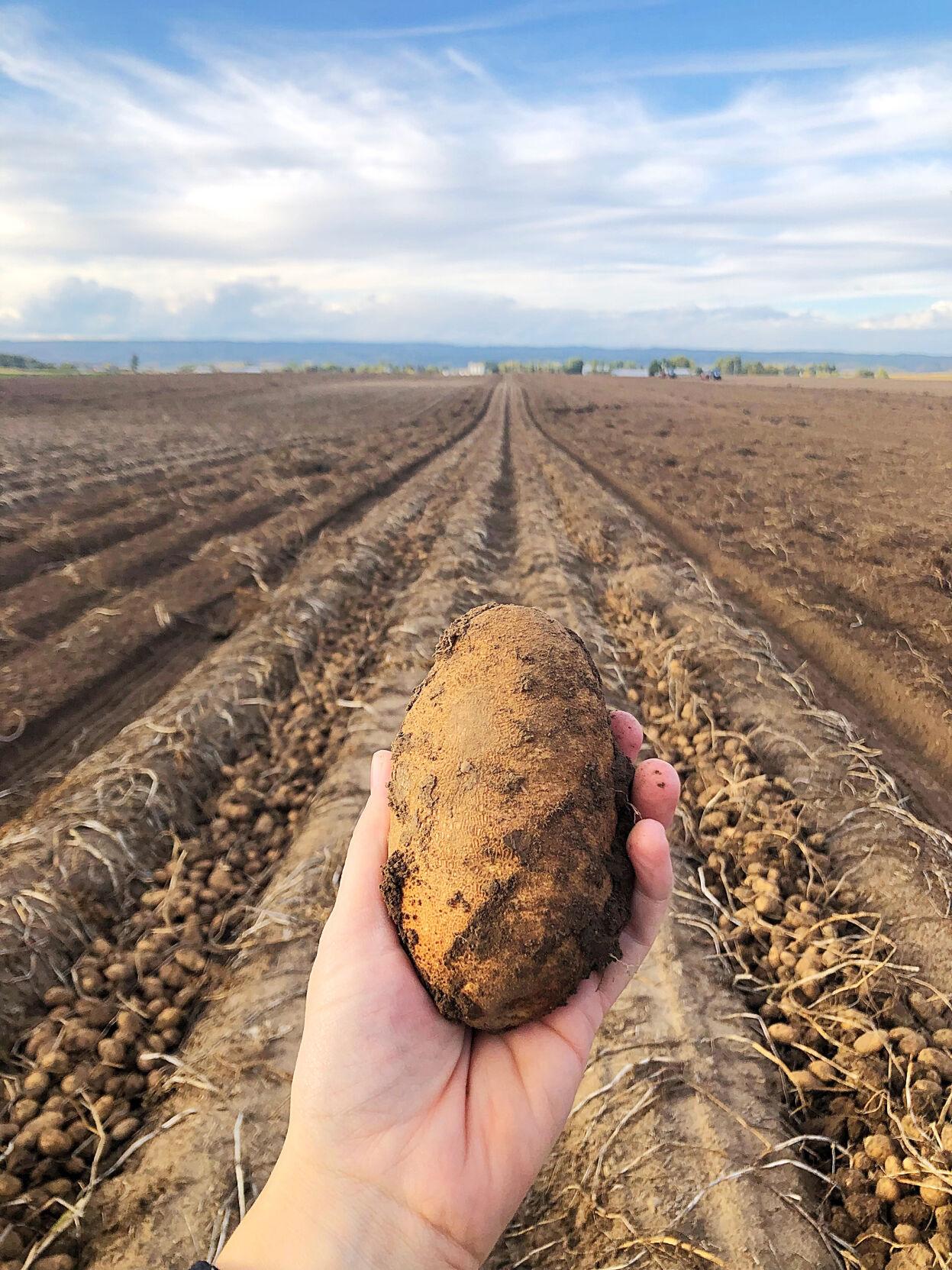 HST seed COVER Mike Steinmann farm yellow potato.jpg