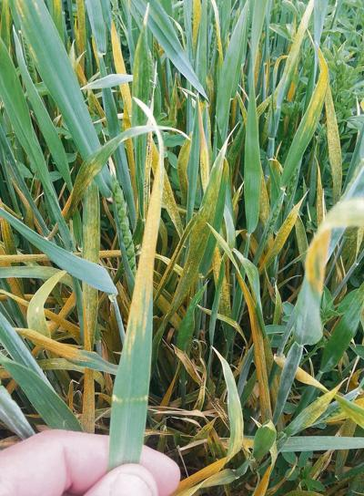Early stripe rust raises researchers' concerns