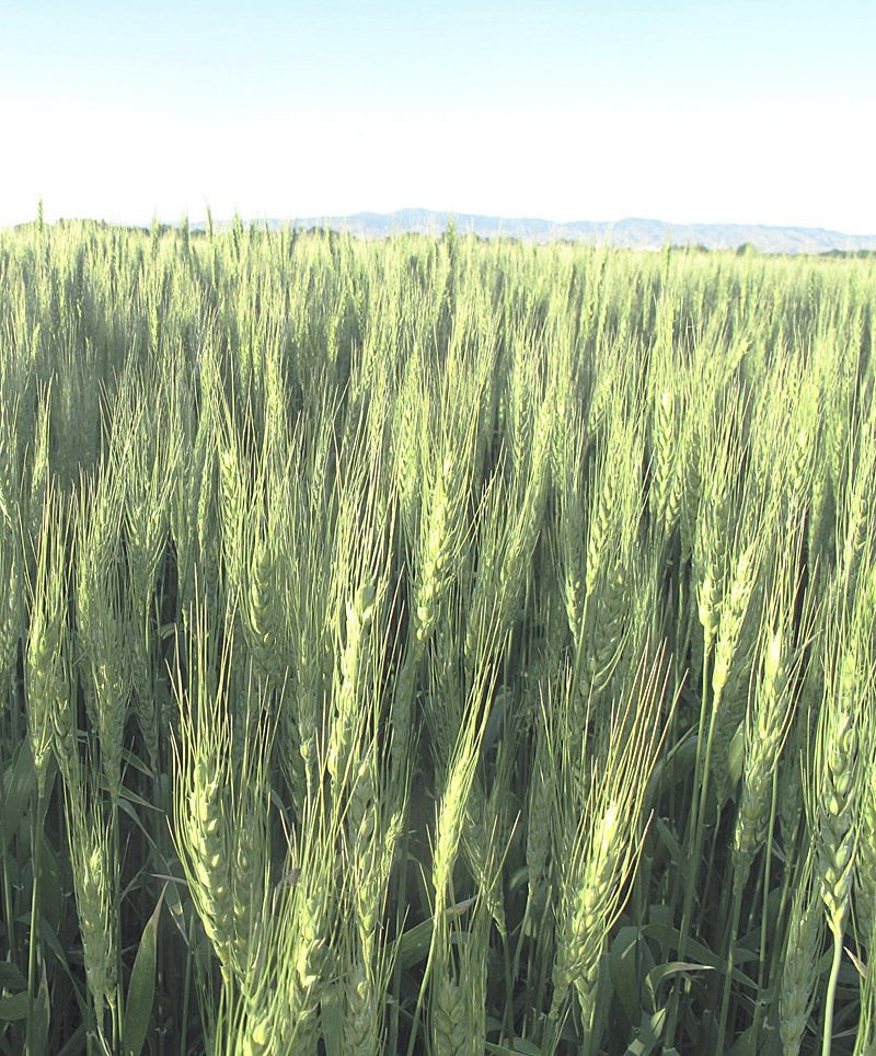 Idaho ag production value down 6 percent in 2016; rebound likely