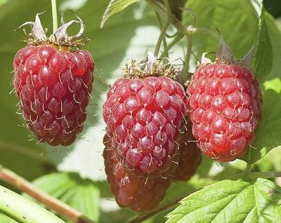 Ecology says farm illegally irrigated raspberries