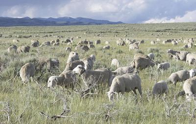 Wool and sheep price report