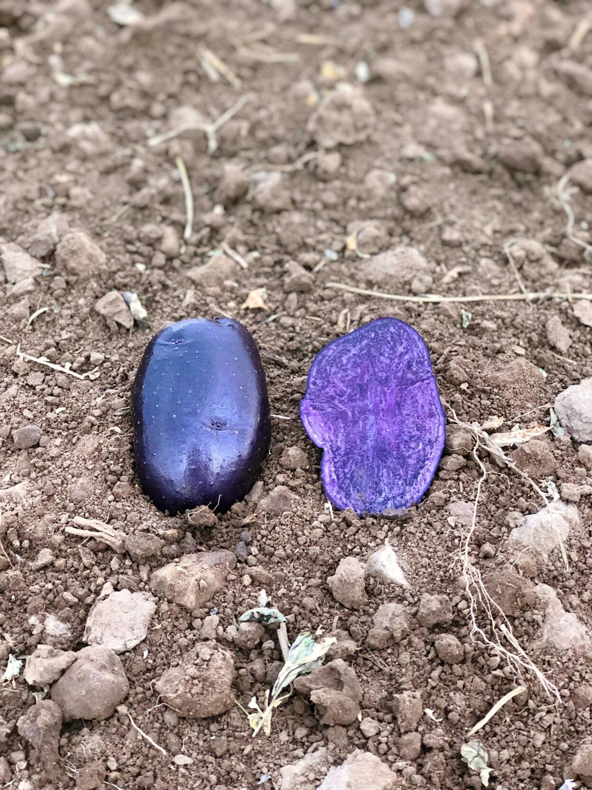 HST seed Mike Steinmann - blue potatoes.jpg