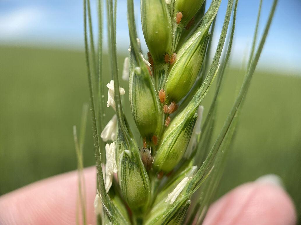 English grain aphids