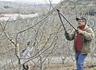Pruners prepare orchards for prosperity