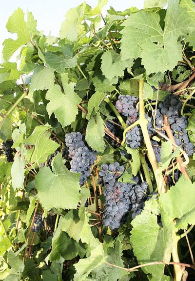 Willamette Valley wine grapes