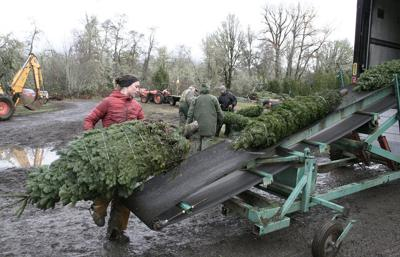 Growers prepare to decide fate of Christmas tree checkoff