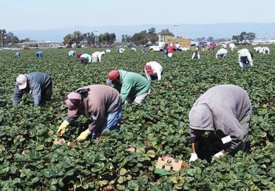 Strawberry commission pushes for immigration reform