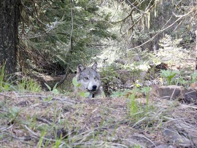 County commissioner rips state for closing wolf meeting