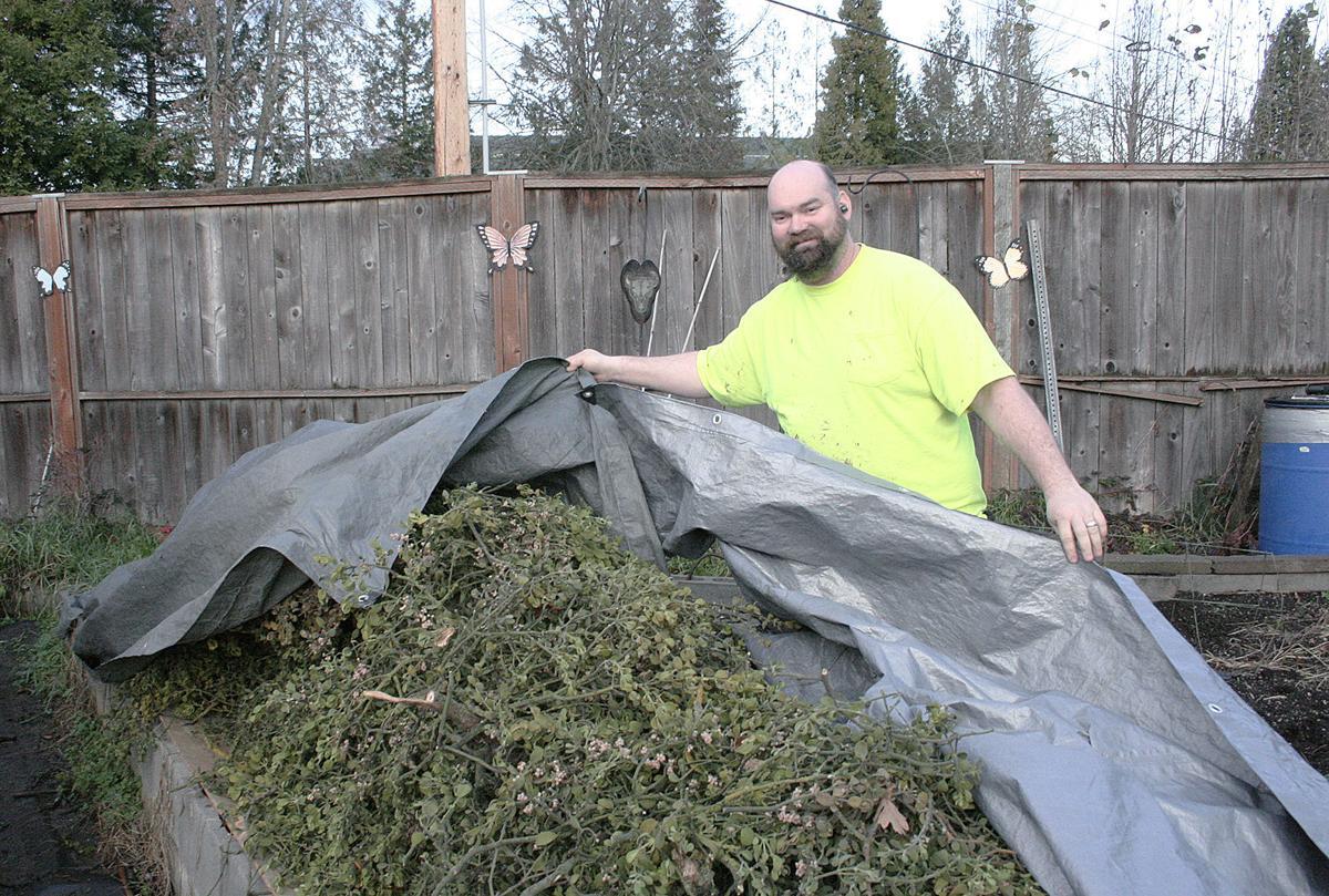 Mistletoe Season Entrepreneurs Profit From Parasitic Plant