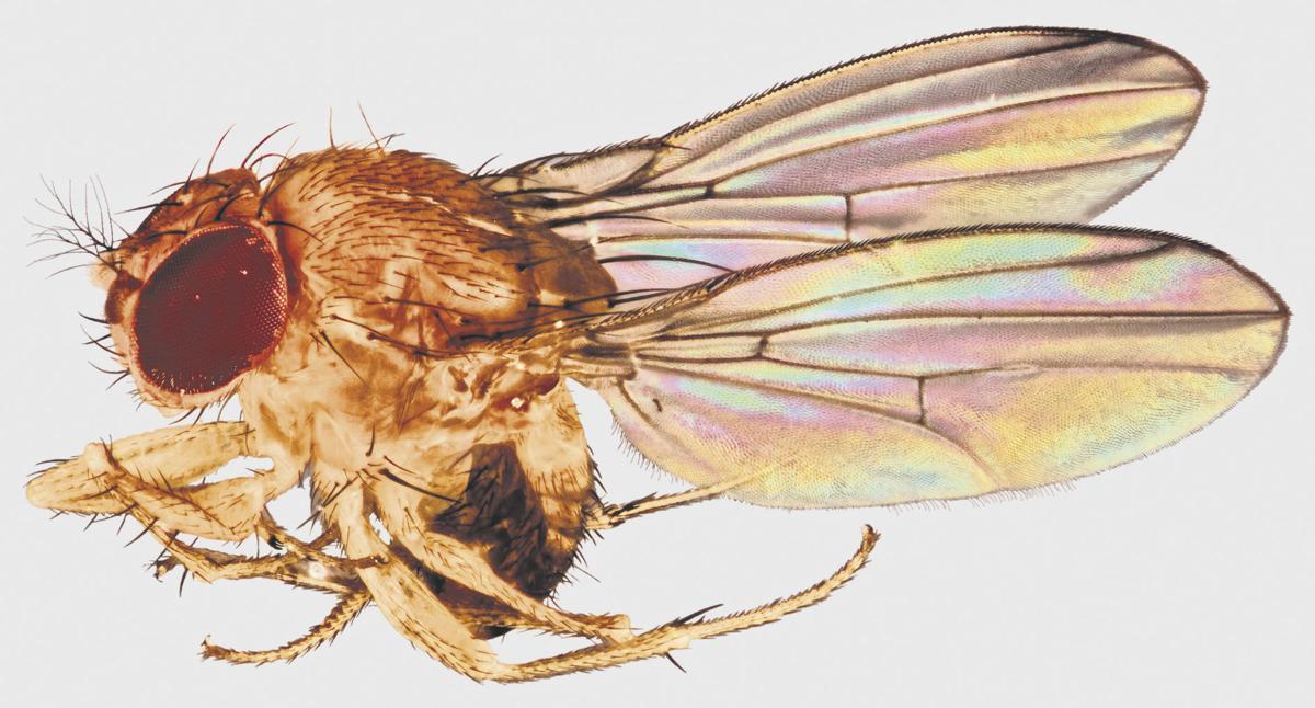 USDA: Drosophila suzukii pest 'is all over'