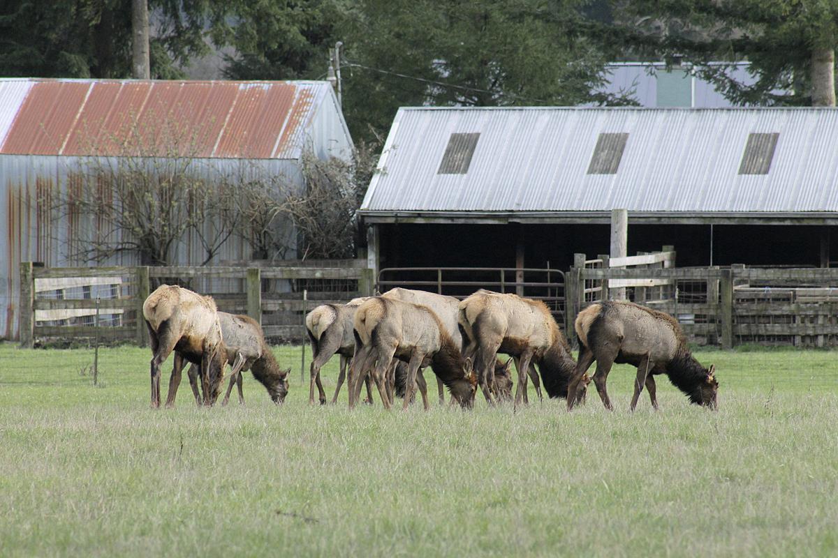 Elk raid Skagit farm, eat nearly 100,000 pounds of blueberries