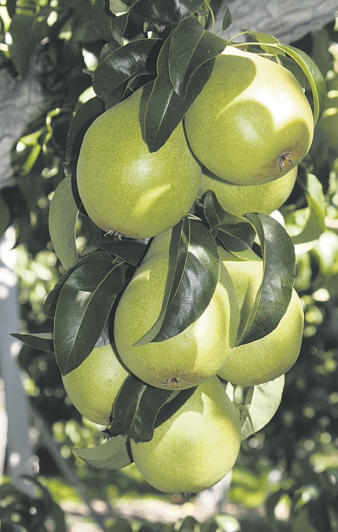 Smaller pear crop sweetens prices
