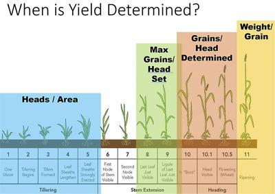 INN wheat yield chart