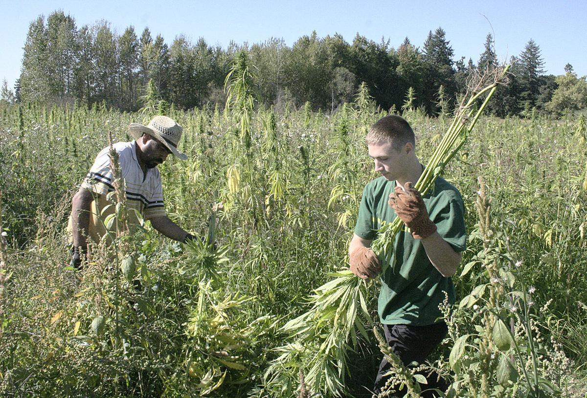 Hemp grower encouraged by cross-pollination experiment | Oregon
