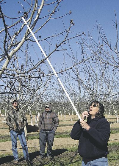 Minimal pruning boosts walnuts