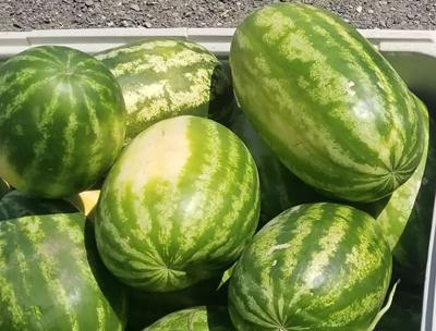 Hermiston Watermelon Season Arrives Late This Year Oregon Capitalpress Com
