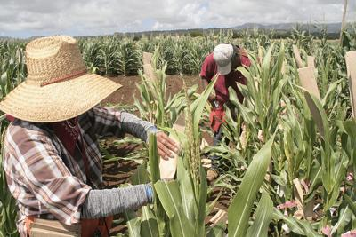 State and local GMO bans declared legal