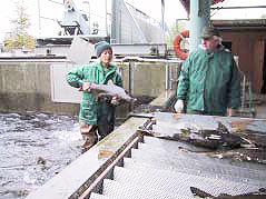 Hatchery loses salmon