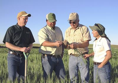 Wheat evaluated for cereal cyst nematode resistance