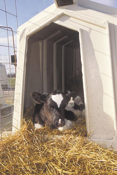 Calves' vitamin needs measured