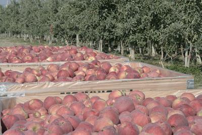 U.S. apples