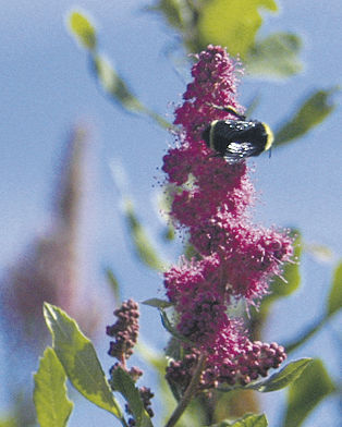 Insectary plants draw  native pollinators