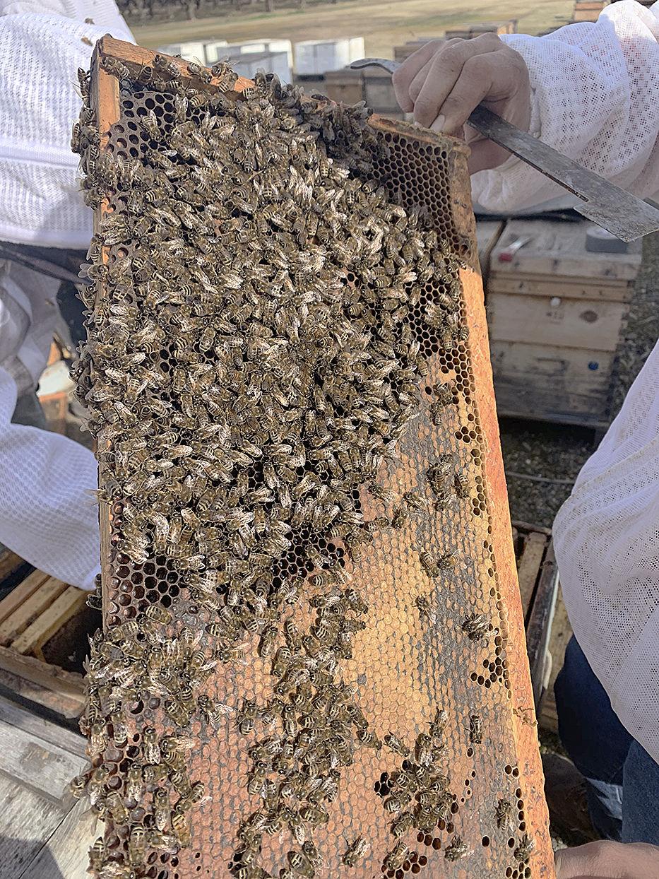 Bees varoa update 2