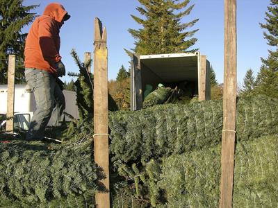 Christmas tree supplies remain tight