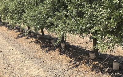 ONV avocado irrigation