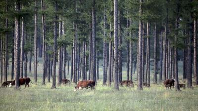 Timber, livestock grazing