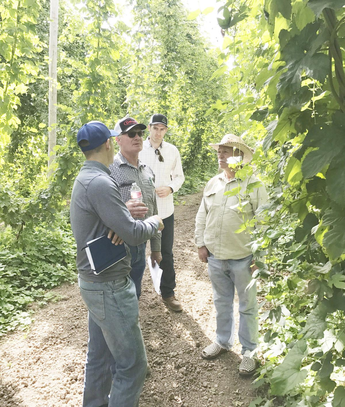 New public cultivar aims to 'Triumph' in hop market