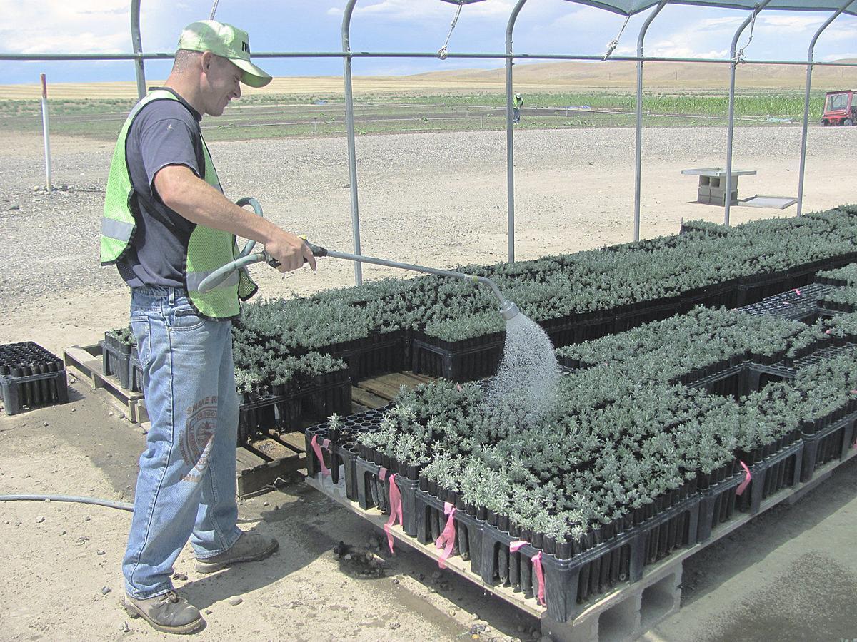 Prison program to rehab sage grouse habitat faces uncertain future