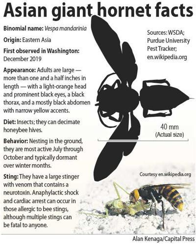 Asian giant hornet facts