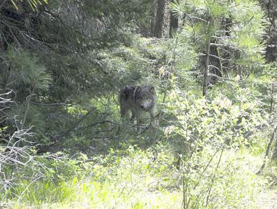Wildlife agencies, sheriff investigate after wolves chase woman
