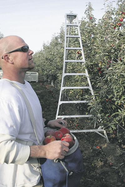 Tree fruit growers scramble for pickers