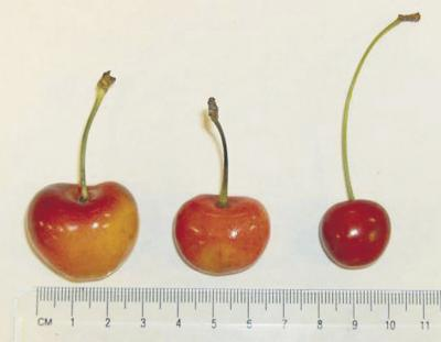 Researchers hot on the trail of 'Big Jim' cherry