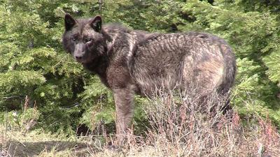 Wolves seem to be bypassing Central Oregon