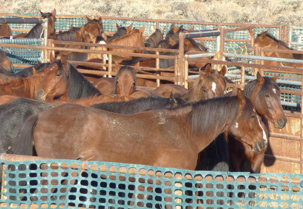 Judge upholds permanent removal of Oregon wild horses