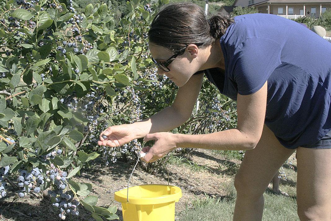 Washington, Oregon make region a blueberry powerhouse