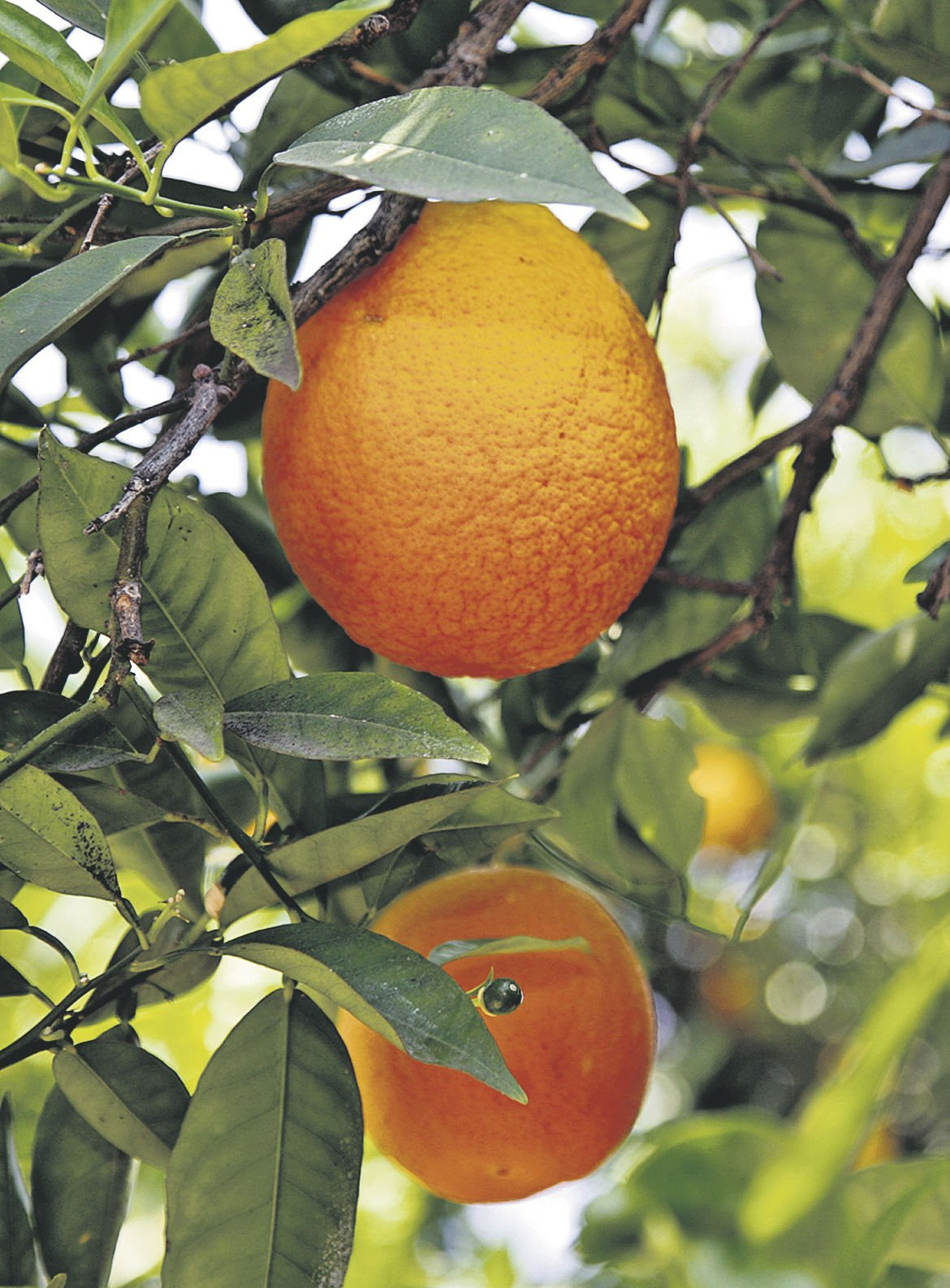 Navel harvest sees strong start, prices